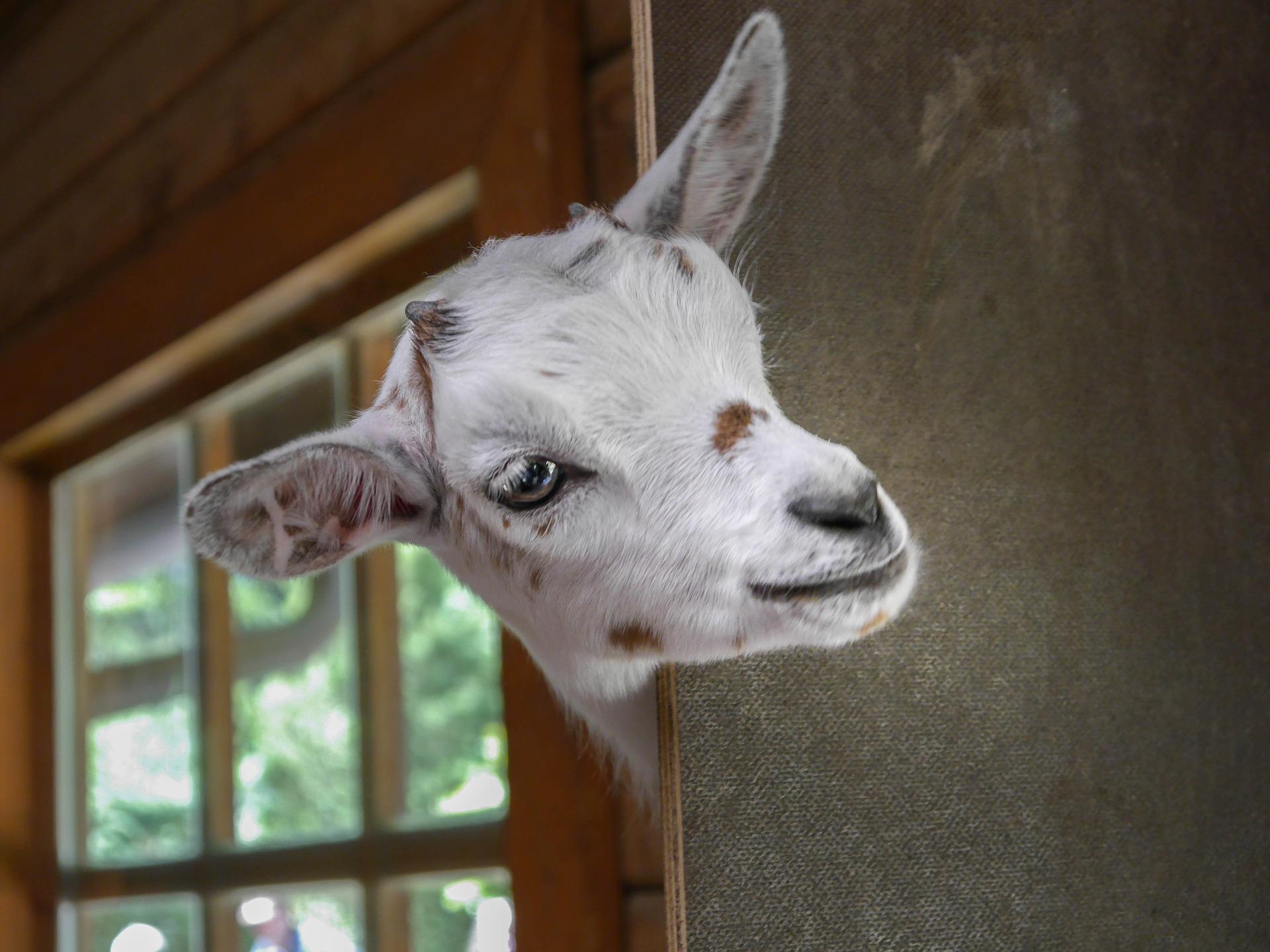 goat 2153622 1920