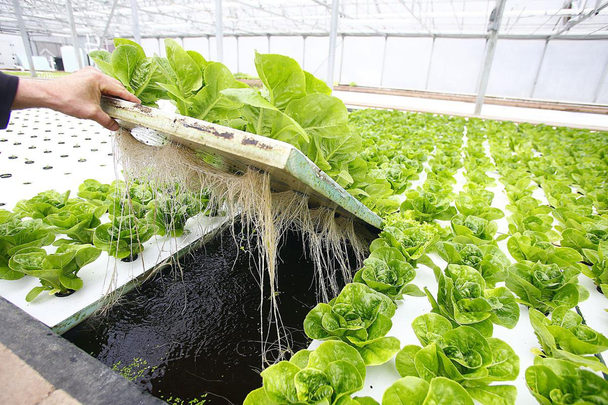 Грунт нужно тщательно очистить от сорняков, для обеззараживания его можно предварительно пролить водным раствором медного купороса.